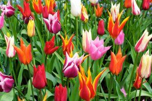 Kwiaty (tulipany) kwitną dzięki usługom ogrodniczym systematycznej pielęgnacjiwe Wrocławiu.